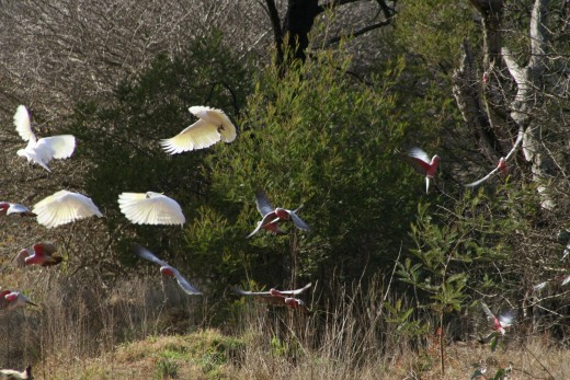 Galahs and white cockatoos flying.