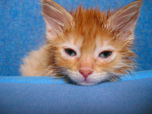 A sick kitten is a sad and depressed kitten. If a kitten is throwing up food, it can easily lose happiness as its tummy becomes more upset.
