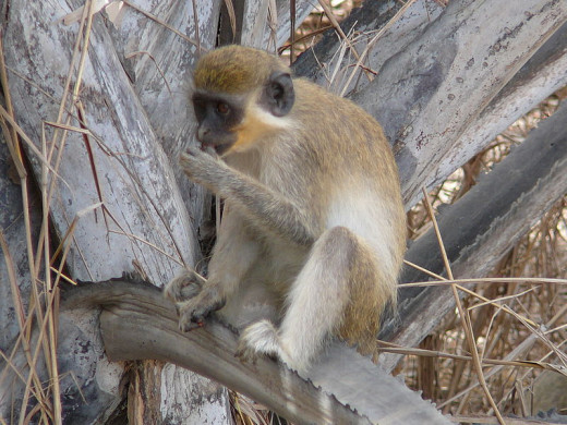 A Green Monkey, this was like Gypsy our monkey
