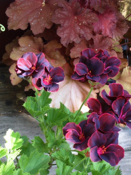 """Lord Bute"" pelargoniums and Heuchera ""Rio"".  Photograph by Helen Lush"