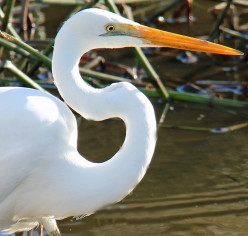 Egret's have an 's' bend neck