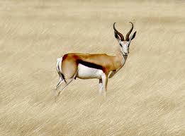 Springbok - National animal