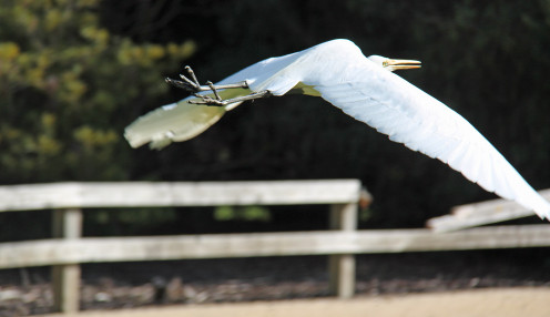 An egret's wing span is longer than its body