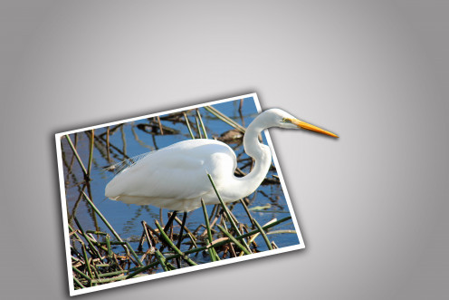A postcard perfect egret