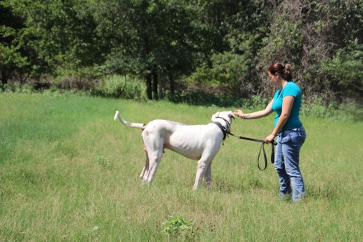 Adkins working with a two year old male Euro Harlequin Great Dane named Patriot!
