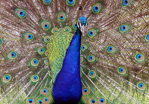 Peacock symbolizes integrity, it's true self is only shown when they are willing to open up and show their true colors and beauty