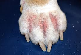Dog's paw with allergies