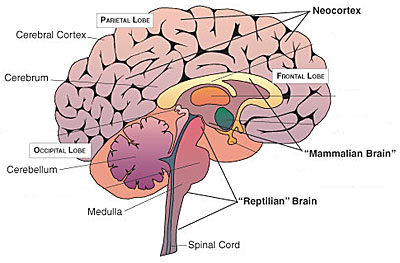 Neocortex is the spaghetti uper side of our brain The Mammalian Brain is in the middle of everything  The Reptilian Brain is in the juncture between our head and the spinal chord. This is were the magic happens baby!