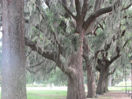 Live Oaks With Spanish Moss, Forsyth Park, Savannah, GA