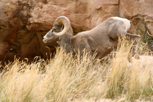 This spooked bighorn ram heading for cover offered an opportunity to take advantage of a changing situtation.