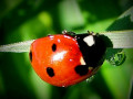 How to Photograph Lady Bugs