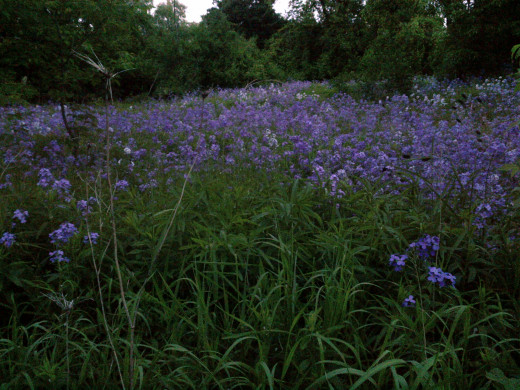 A meadow full of moave / purple wildflowers, mostly Dame's Rockets.