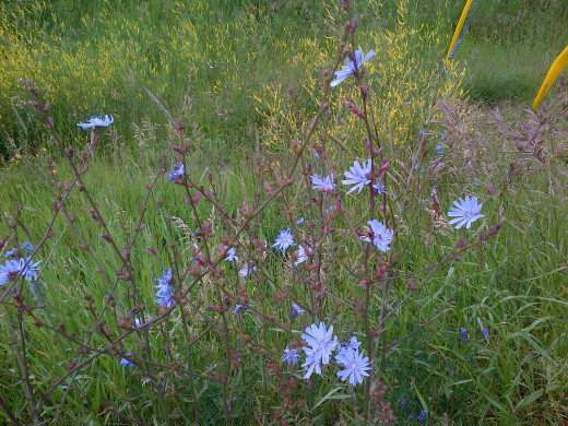 Chicory can be picked freely.