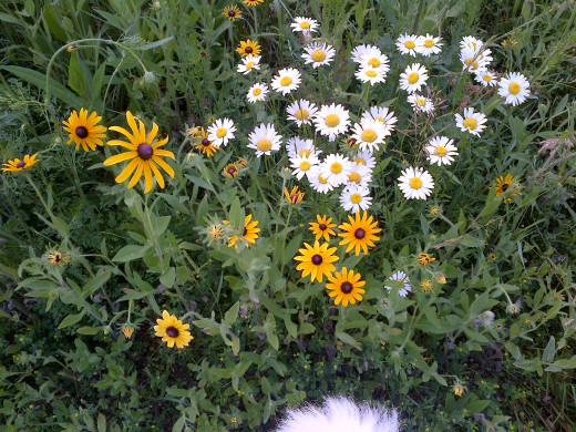 Black-eyed Susan in the company of Oxeye Daisy. Both flowers can be picked freely.