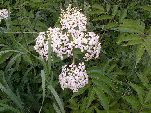 Queen Anne's Lace (wild carrot) can be picked freely.