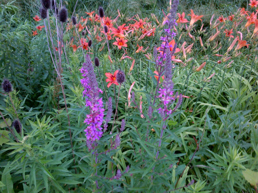 Swamp vervain with Orange day lilies in the background. Lilies can be picked freely.
