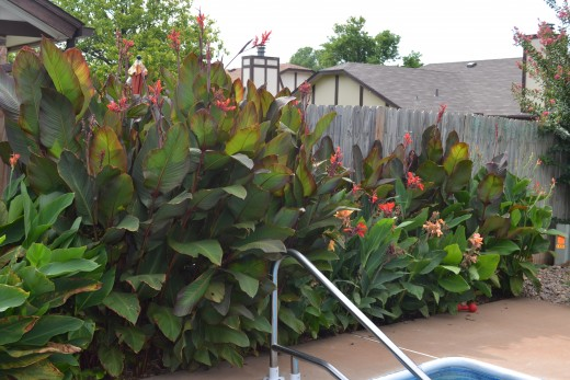 Cannas come in red or green leaf as shown. They have yellow, orange, or red flowers. They come in different heights also. The red leaf are regular cannas while the ones on the right are dwarf.