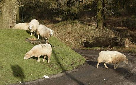No Focus.  Sheep straying in the Forest of Dean, Gloucestershire, UK.  Photo: SWNS