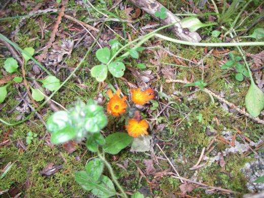Orange Hawkweed cab be picked freely.