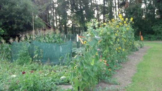 My vegetable garden in June 2012
