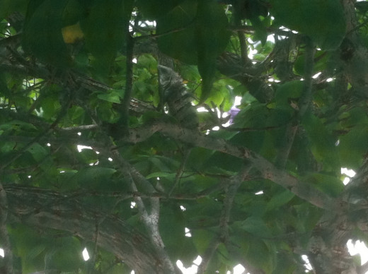 Iguana in a tree outside of our cabana.