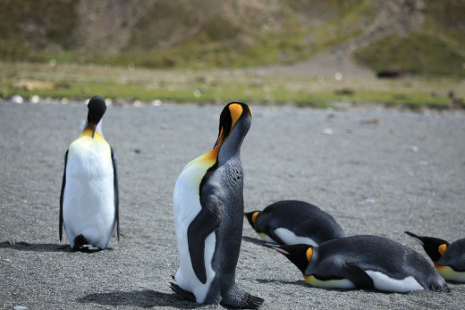 King Penguins grooming, At St. Andrews Bay, South Georgia.