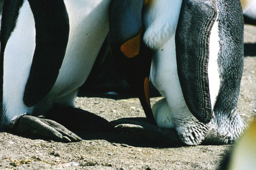 King Penguin with its egg
