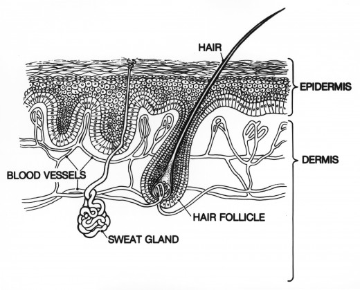 A cross section of skin.