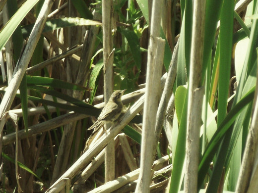 Sedge warblers tend to keep well concealed in the tall rushes and reeds.