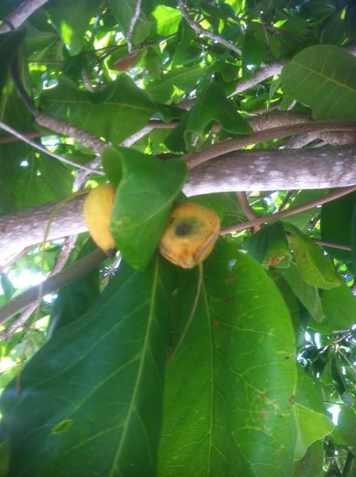 Tree with fruit. Still not sure what kind?