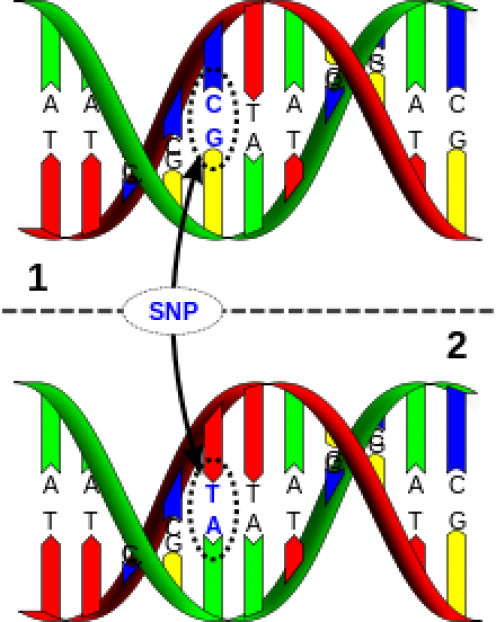 "THE SNP (pronounced Snip) STANDS FOR ""SINGLE-NUCLEOTIDE POLYMORPHISM"" A CHANGE IN AT LEAST ONE ""BASE PAIR""  WITHIN AN ALLELEcc"