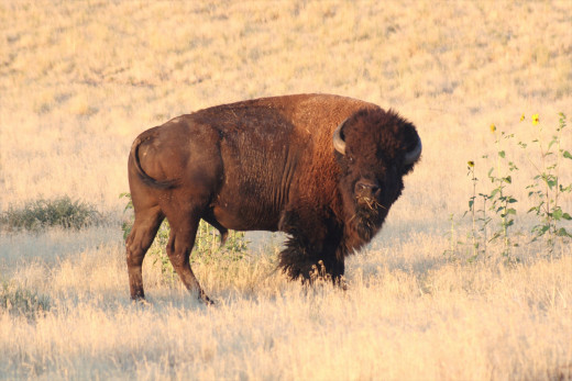 One of the big bison bulls that was intentionally left out of the annual roundup.