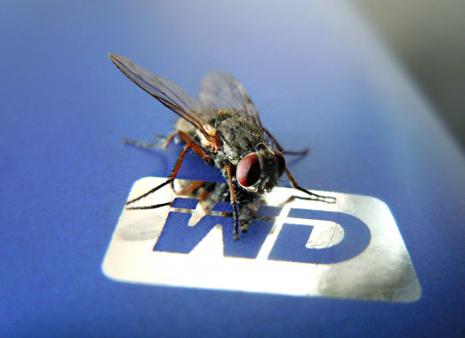 A common Household Infesting Housefly