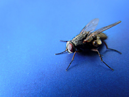 A Gray Housefly - is smaller and breeds on garbage, food  and many waste matters.