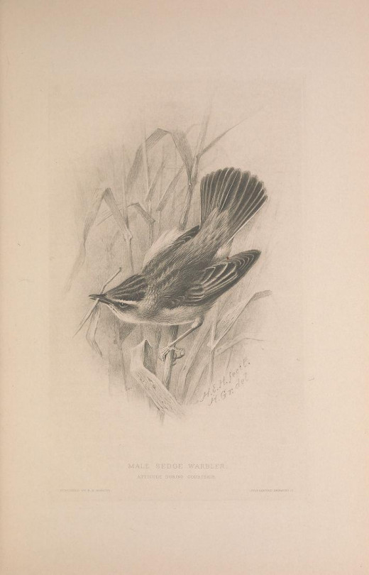 Male bird with stem in beak {British Warblers 1907-14} Courtesy of the BHL