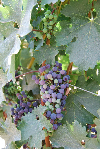 Nicholas Solga photographs grapes changing color from green to purple, a critical time known as veraison.
