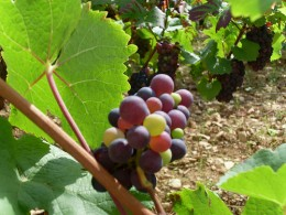 Once the grapes turn purple, the plant will grow less foliage and less vines.  The fruit will become riper and more concentrated. CC-attribution: Photo by kvins.com