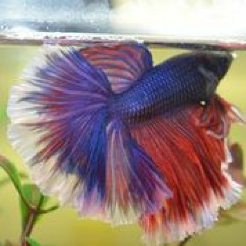how to make betta fish healthy