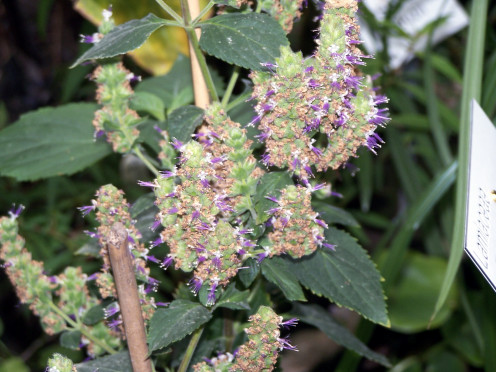patchouli is native to India and Malaysia.