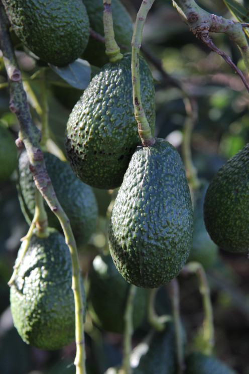 keep the stone or pit in the avocado and plant it up easily at home, watch it grow!