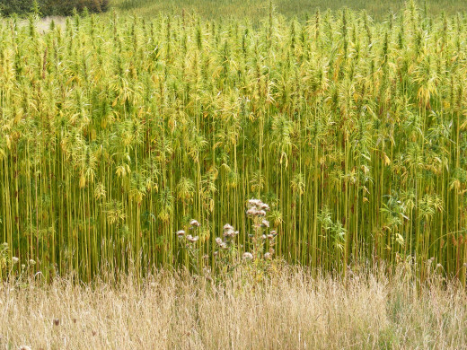 Hemp crops are planted close together to encourage height growth. This also helps prevent other plants and weeds from growing within the crop.