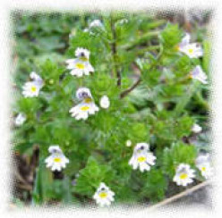 Eyebright:   The Better to See You