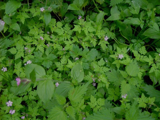 The delicate divided foliage and small pink flowers cheer up waste places and hedgerows