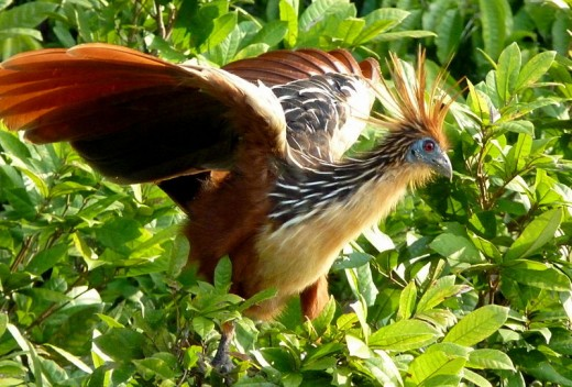 The weird looking primitive hoatzin bird from the Amazon.