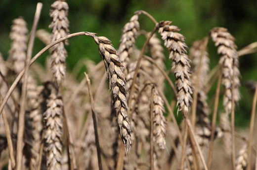 Cereals such as wheat only became available after the development of agriculture and are excluded in a paleo diet.