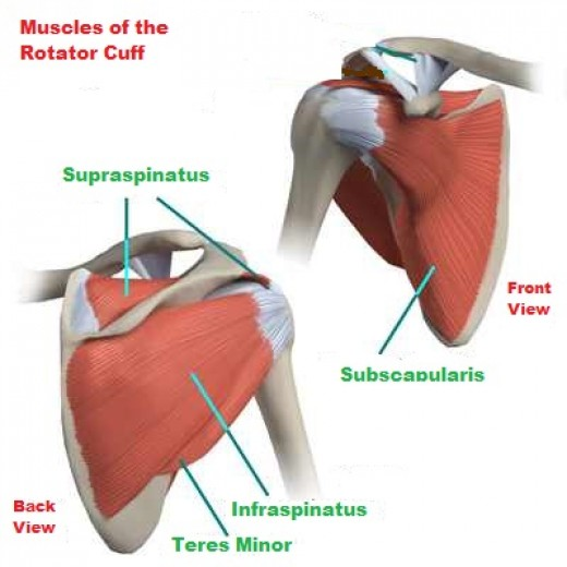 rotator cuff muscles