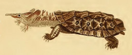 Chelus Fimbriata Mata Mata turtle Sketch