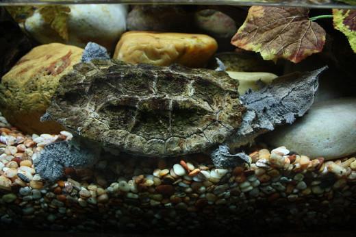 A Matamata Turtle in its Aquarium: A Simulation of its Natural Habitat