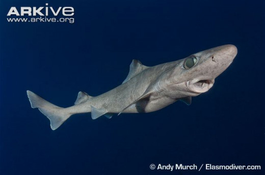 The Dumb Gulper Shark doesn't appear to be the sharpest tool in the shed, which might be why it is on the critically endangered list.