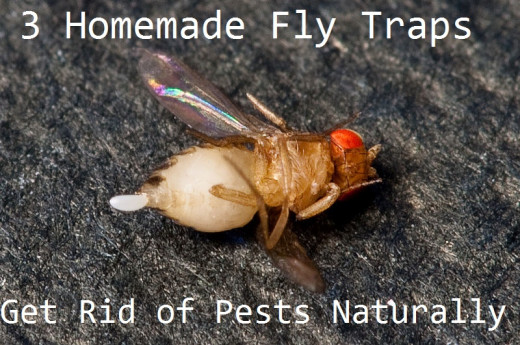 How to get rid of pests naturally with homemade fly traps.
